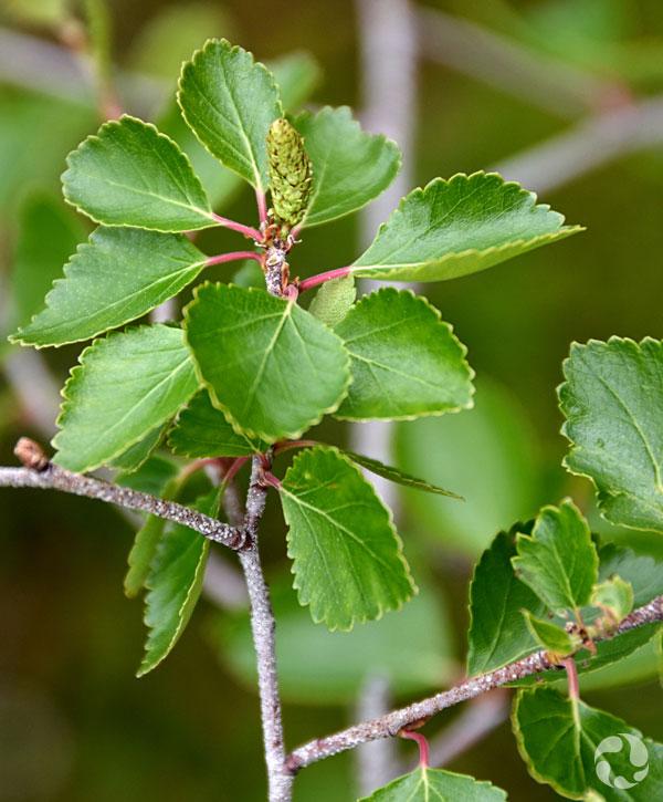 Une branche de bouleau occidental (Betula occidentalis) avec ses feuilles.