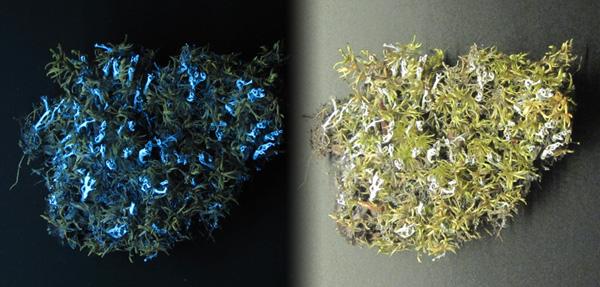 Collage : un spécimen de cladonie cénote, Cladonia cenotea, et de mousse plumeuse, Pleurozium schreberi, sous une lumière blanche et sous rayonnement U.V., montrant la fluorescence des lichens.