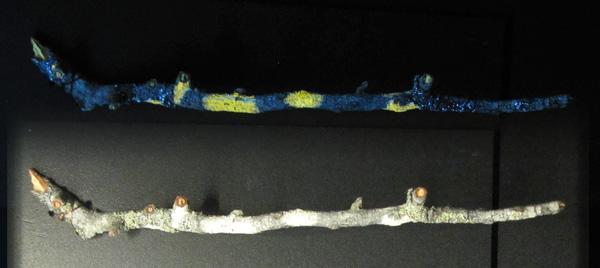 Collage : une section de branche couverte de lichens sous une lumière blanche et la même branche sous rayonnement U.V., montrant la fluorescence du lichen.