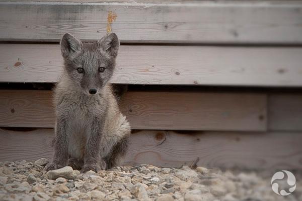 Un renard arctique (Vulpes lagopus).