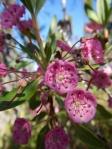 Un kalmia à feuilles d'andromède en fleur.