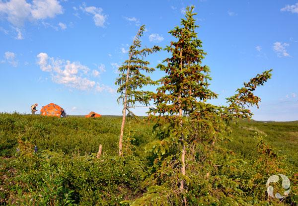 Quelques épinettes blanche (Picea glauca) avec des tentes en arrière-plan.