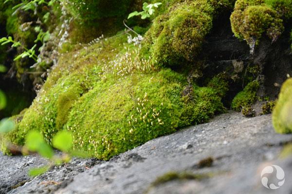 Mousse verdoyante poussant près d'une roche.