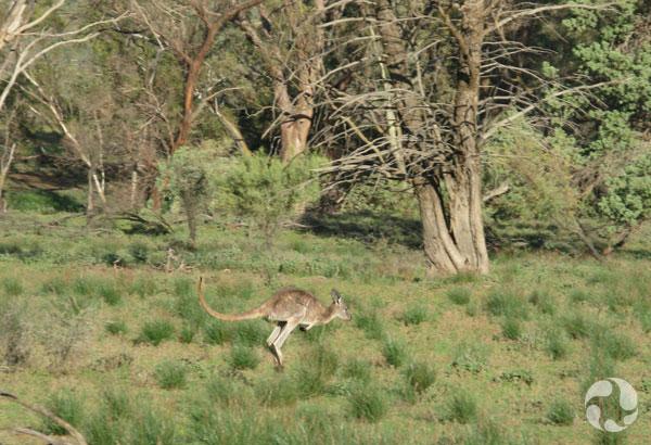 Un kangourou sautant dans la nature.