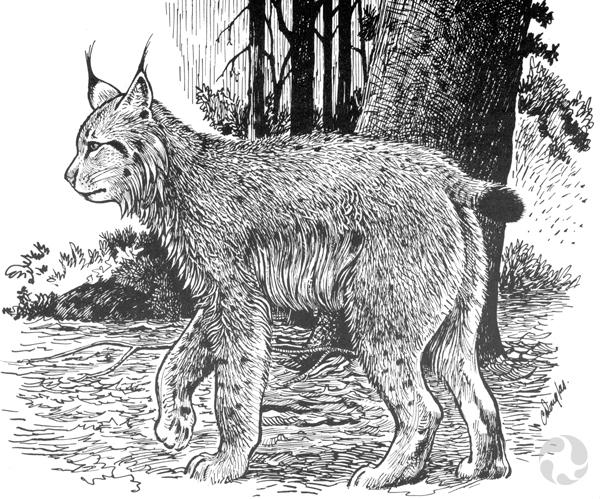 Illustration en noir et blanc d'un lynx du Canada, Lynx canadensis, marchant dans la forêt.