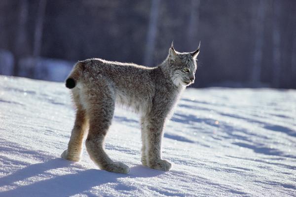 Lynx du Canada, Lynx canadensis, debout sur la neige.