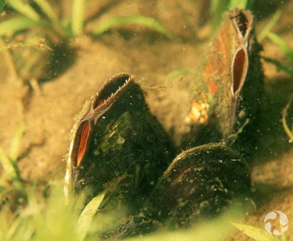 Moules qui se nourrissent en filtrant l'eau par leurs siphons inhalants.