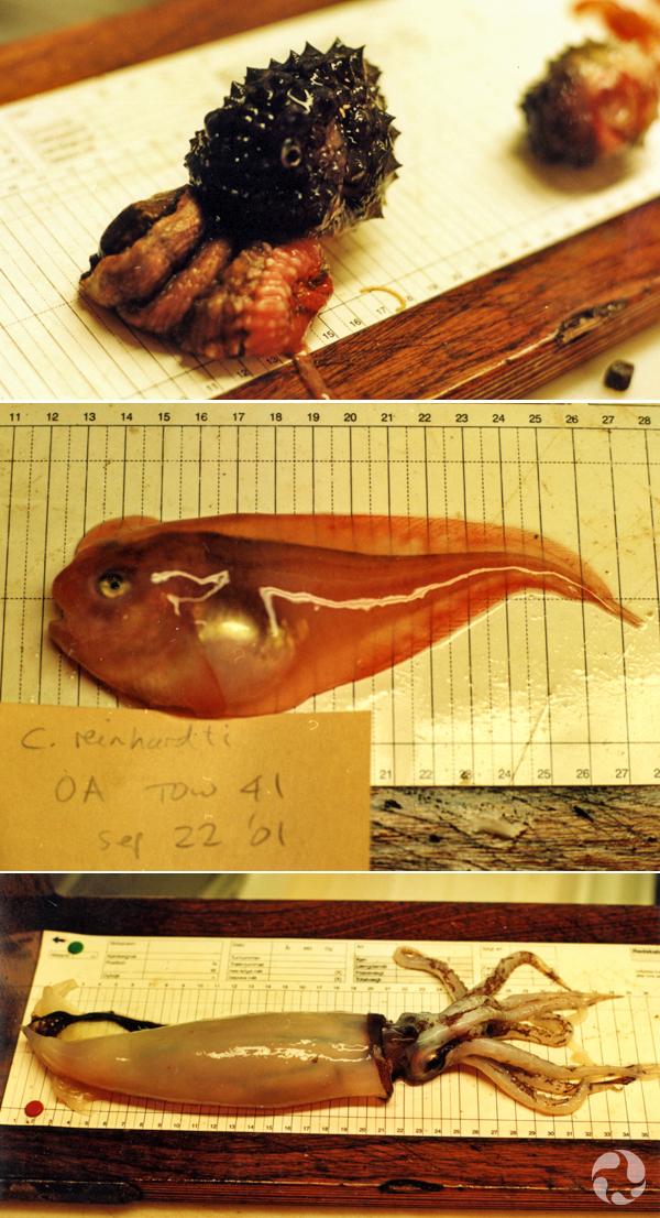 Collage de photos : poule de mer sur une anémone, petite limace de mer et calmar.