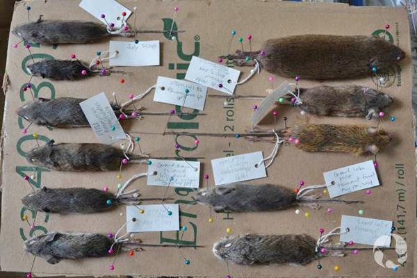 Des spécimens de rongeurs épinglés sur un carton et étiquetés.