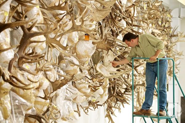 Un homme touche à une des centaines de ramures sur un mur.