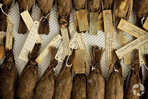 Deux rangées de peaux d'oiseaux avec les étiquettes de spécimen attachées.