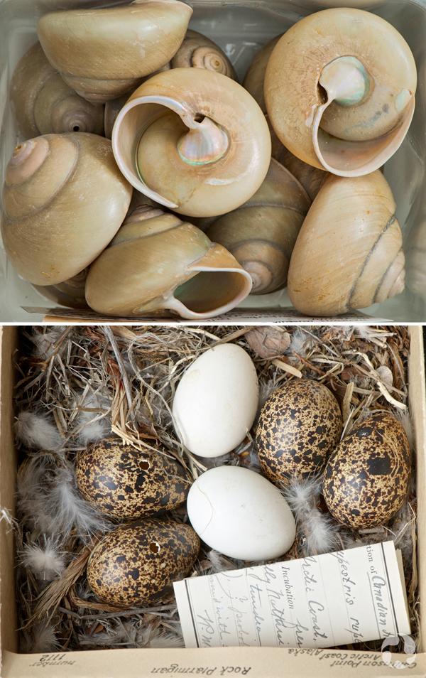 Deux images : coquilles spiralées et œufs d'un lagopède alpin.
