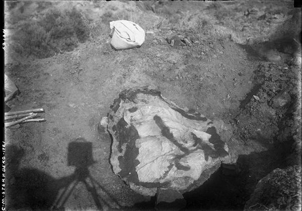 Photo d'époque en noir et blanc. Sur les lieux de fouilles paléontologiques, restes d'un dinosaure.