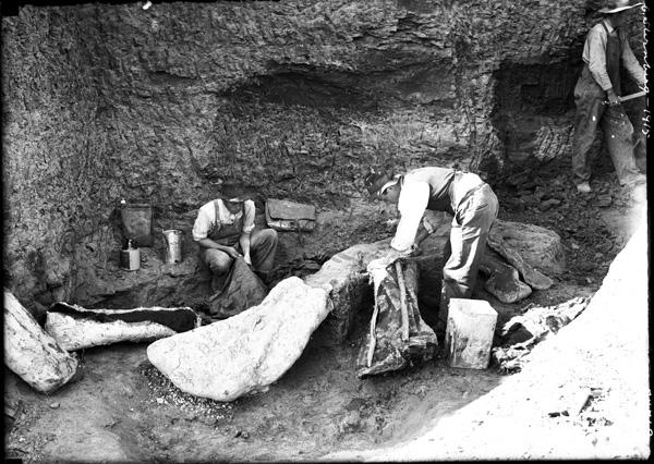 Photo d'époque en noir et blanc. Sur les lieux de fouilles paléontologiques, des explorateurs emballent des restes de dinosaures.