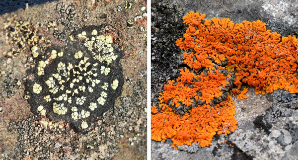 Collage : Lichens sur du roc.