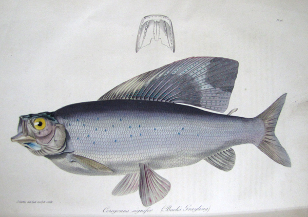 Illustration scientifique en couleur d'un poisson.