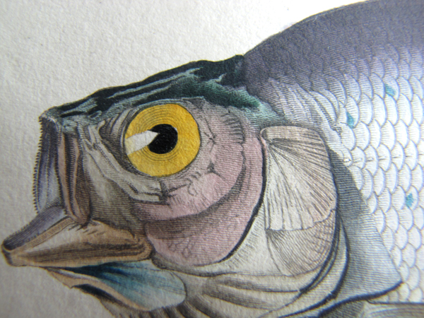 Plan rapproché d'une illustration de la tête d'un poisson.