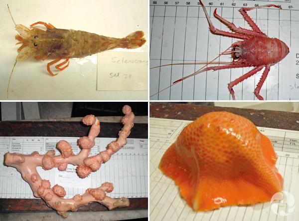 Collage : une crevette polaire; un crustacé de l'espèce Steromastis sculpta; un spécimen de corail « bubblegum »; un échinoderme de l'espèce Tremaster mirabilis.