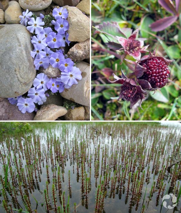 Trois plantes de l'Arctique (collage) : phlox de Hood, comaret des marais, hippuride à feuilles lancéolées.