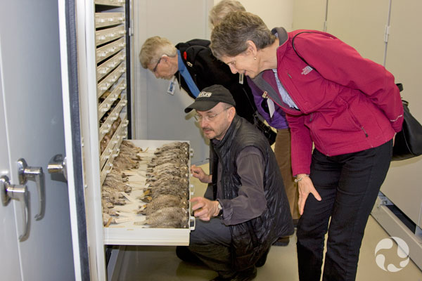 Un homme et trois femmes regardent un tiroir de collection ouvert contenant des spécimens de Petits-Ducs maculés.