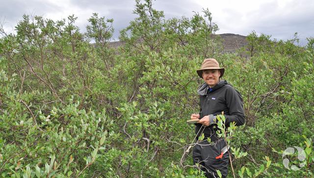 Un homme debout dans un bosquet de saules à feuilles planes, Salix planifolia.
