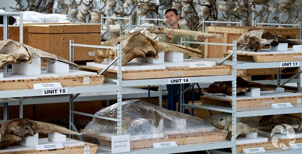 Un technicien debout derrière des étagères tenant un crâne de baleine.