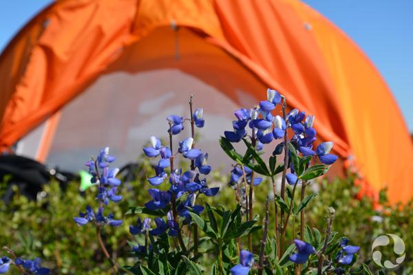 Des lupins arctiques bleus et une tente orange en arrière-plan.
