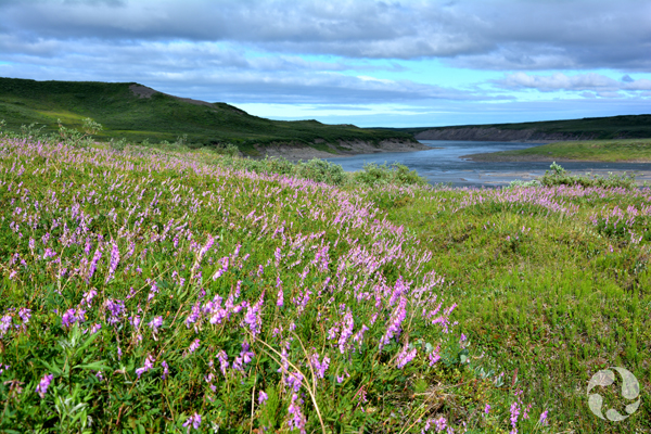 Des astragales alpins en fleurs en bordure d'un fleuve sinueux avec des collines au loin.
