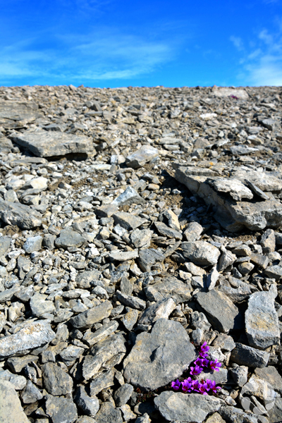 Quelques saxifrages à feuilles opposées poussent entre des roches.