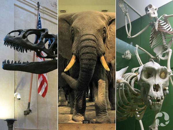 Collage : Un crâne de dinosaure articulé, un éléphant naturalisé, des squelettes sur pied de mammifères.