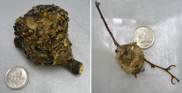 Collage de deux nids à peine plus gros qu'un 25 sous.