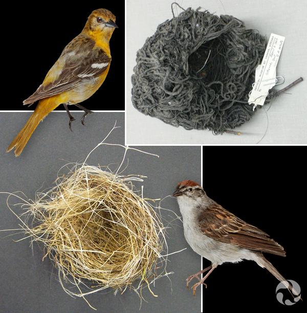 Collage : À gauche, Oriole de Baltimore et son nid de couleur noire. À droite, Bruant familier et son nid de couleur beige.