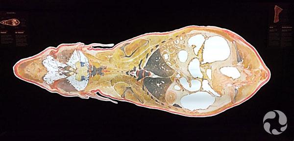 Une coupe transversale du corps d'un éléphant.