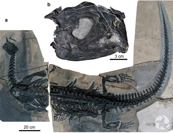 Des fossiles craniaux et post-craniaux préparés.