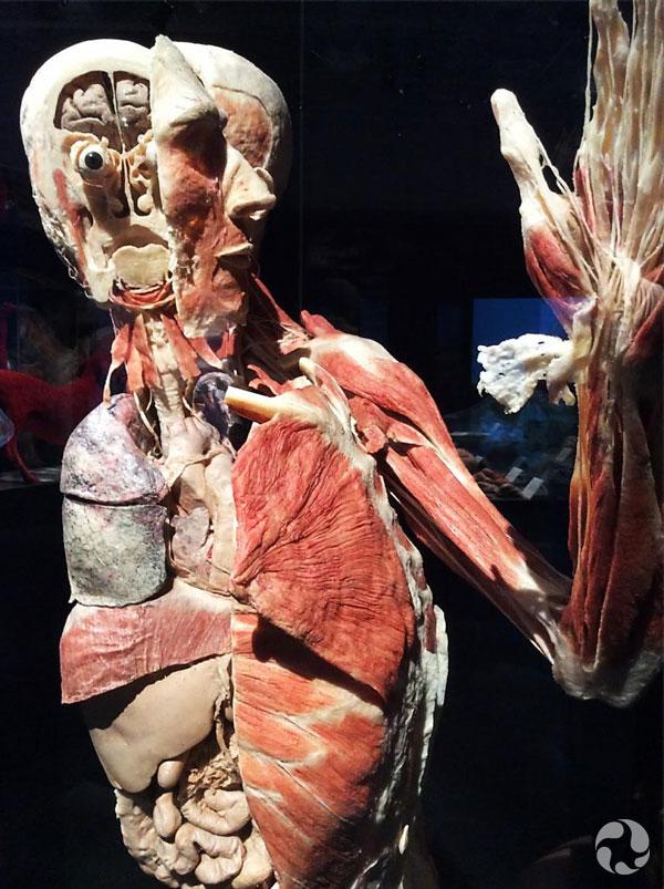 Le corps d'un humain dans l'exposition, Animaux à corps ouvert.