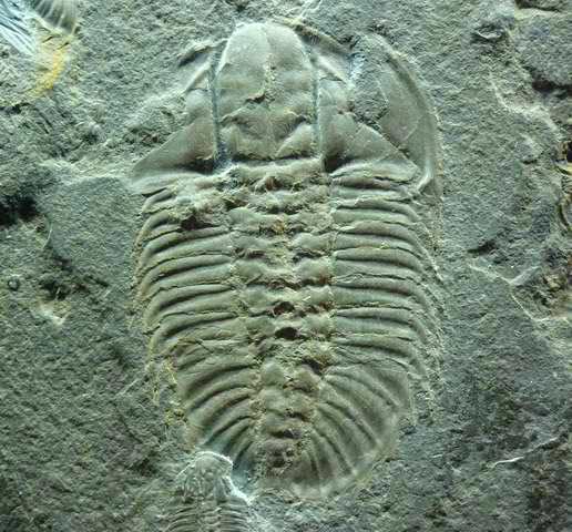 Un trilobite fossilisé.
