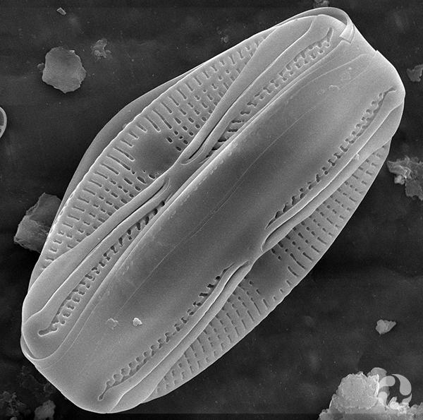 Une diatomée vue sous microscope.