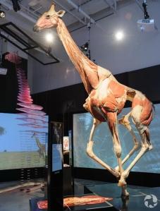 Le spécimen du girafe dans Animaux à corps ouvert.