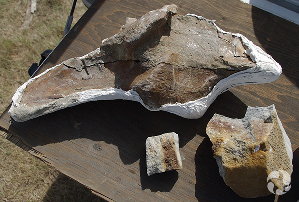 Vue de l'os iliaque de l'hadrosaure, partiellement encastré dans une coque de plâtre.
