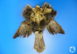 Spécimen d'un mésangeai