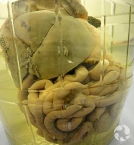 Un bocal contenant les organes du système digestif d'un Loutre de rivière.