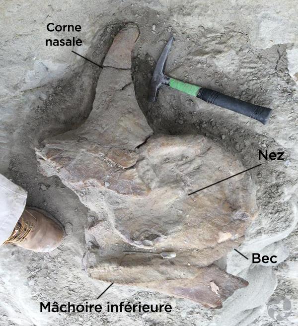 Le crâne de Centrosaurus est encastré dans la roche.