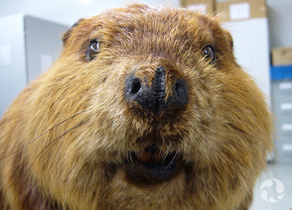 A beaver's head.
