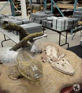 Vue d'un modèle de Tiktaalik, avec, en arrière plan,  les boîtes contenant les restes fossiles authentiques.
