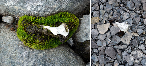Collage : Mousse poussant sous et à côté d'os.