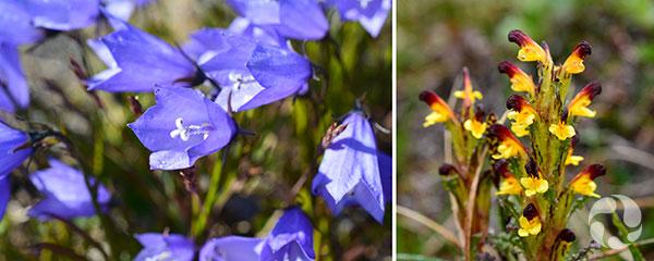 Collage : Fleurs mauves, ainsi qu'une espèce de fleurs jaunes et bourgogne.