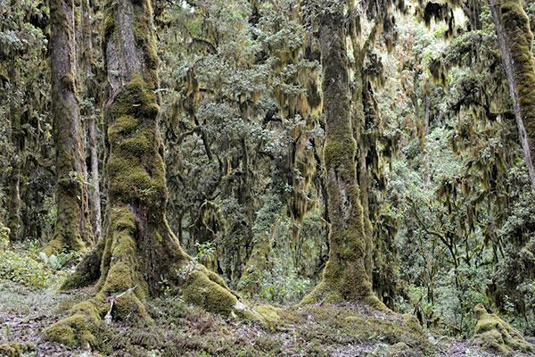 Une impressionnante forêt de chênes moussus à Las Majadas. Bob Anderson et ses collègues ont été les premiers à collecter des spécimens d'insectes dans les couches de feuilles mortes des forêts de Huehuetenango, au Guatemala, à 3000 m d'altitude. Photo : © Jose Monzon