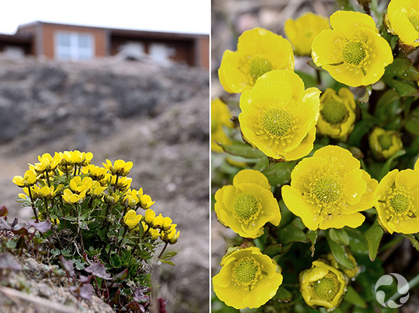 Two views of a plant in bloom.