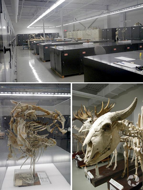 Collage : une pièce remplie de cabinets en métal; un crâne de morue assemblé, le crâne en plan rapproché d'un bison d'Amérique.