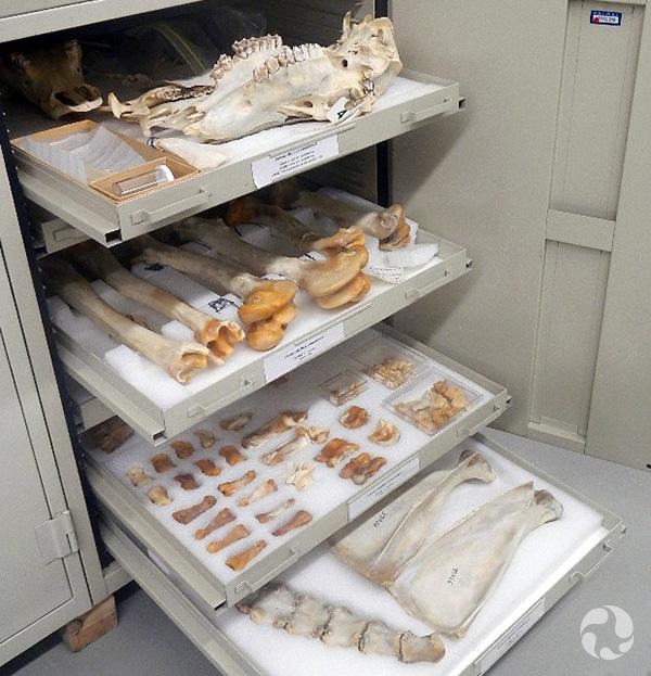 Des os de chevreuils conservés dans les tiroirs d'un cabinet de collection.